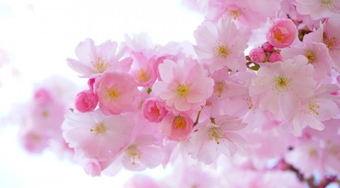japanese-cherry-trees-324175_1280-672x372