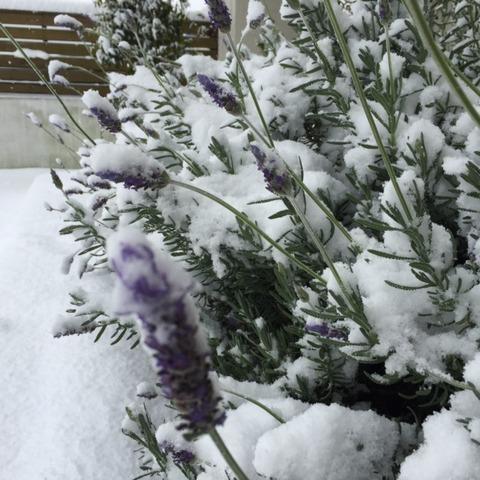 雪ラベンダー