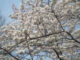道部の桜2