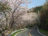 道部の桜1