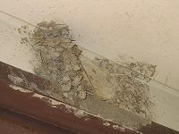 ツバメの巣の残骸