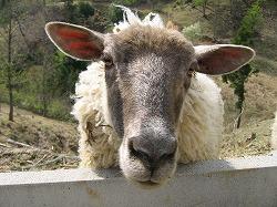 羊たちの怒り