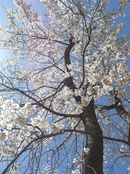 しだれ桜がキレイだな〜