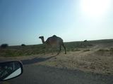 101116_015_Oman Driving_Wild Camel