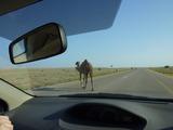 101116_013_Oman Driving_Wild Camel