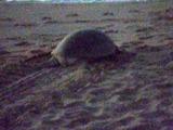 101117_045_Ras Al Jinz_Morning Turtle Tour_Green Turtle