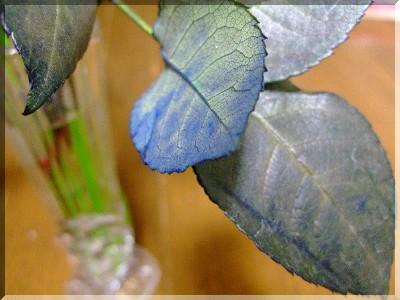 青い薔薇の葉っぱ