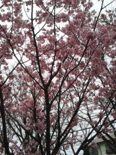 170331_093303横浜緋桜