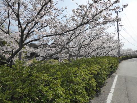 桜いっぱい散歩。