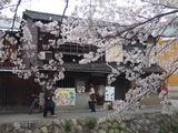 桜満開(小林さん宅前)