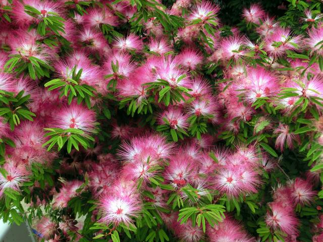 Calliandra selloi01