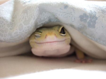 毛布で笑うヤモリ