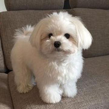 62ef52250ca7027ff455511224ff7575--maltese-dogs