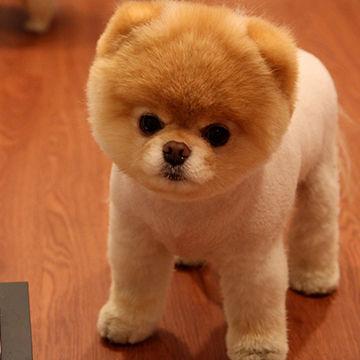 cute_pomeranian_dog-1920x1080
