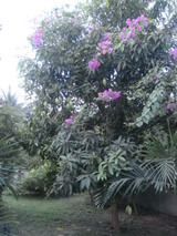 mango tree4