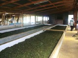 lao tea factory1