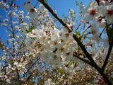 桜20070415