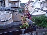 樋に咲く花
