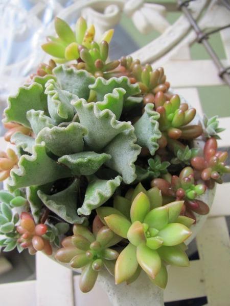 楊貴妃の扇(ようきひのおうぎ)の寄せ植え 2