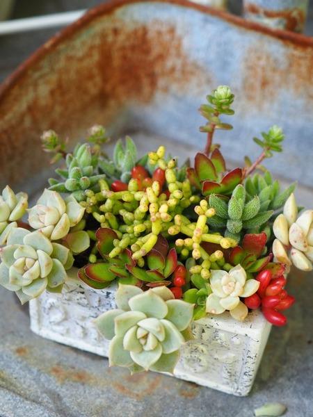 白牡丹の小さな寄せ植え3