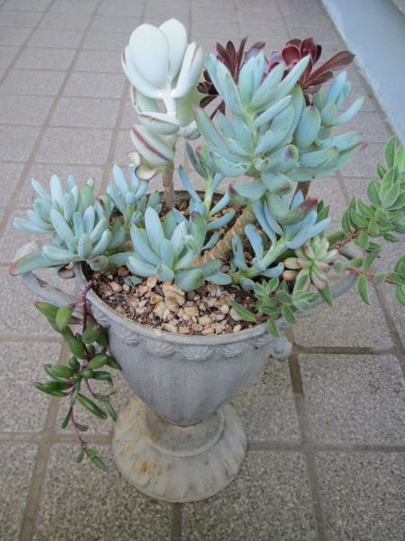 トロフィー型カップの寄せ植え1