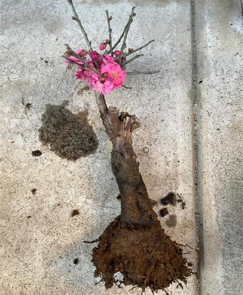 紅梅余分な根を落とす