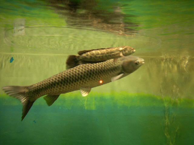 BESANの歴史探訪:中国四大家魚