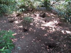 オオミズナギドリの巣