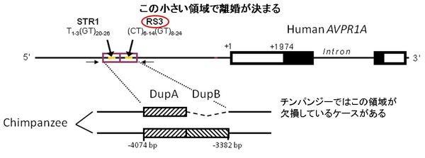 OXT-AVP-11