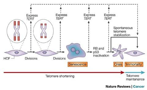 テロメアと発癌2