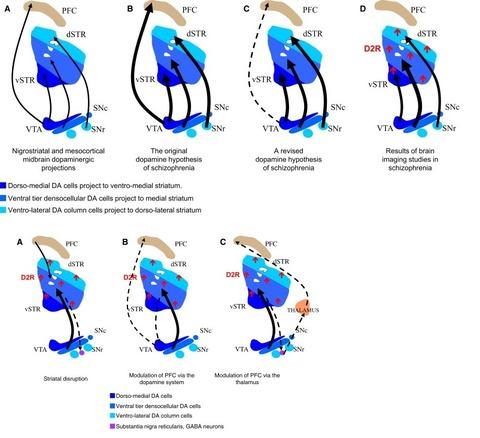 線状体ドーパミン受容体と認知機能1