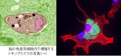 toxoplasma gondii-0