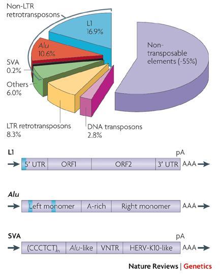 人DNA 内在性レトロウイルスは、長い間、遺伝子の化石であり、何もできないDNA...  場末P