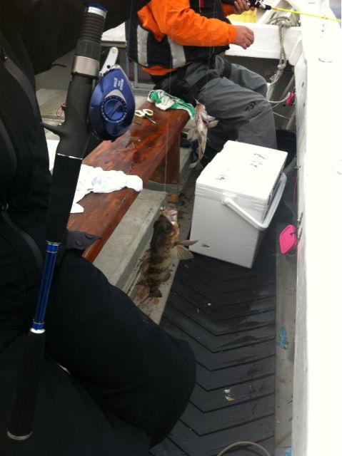 有明海でメバル釣り