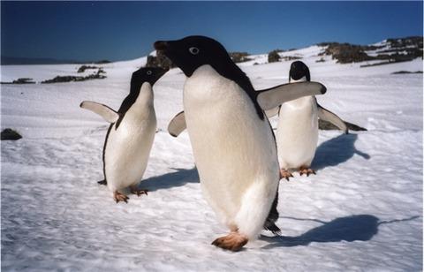 Penguins, Antarctica (Medium) (Small)