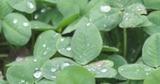 雨に濡れる葉