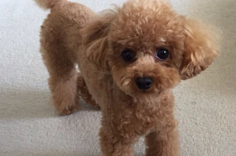 toy-poodle02