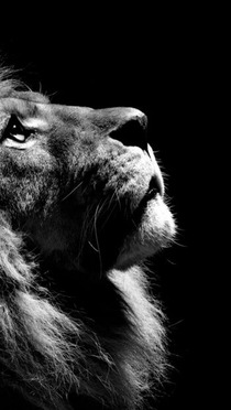 見上げるライオン