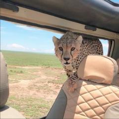 「わあ!新車だね」野生のチーター SUVに乗り込む 恐怖のサファリ