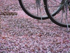 日本から持ち込まれた桜が見事な中国の観光スポット、マナー違反にダフ屋と問題だらけ―湖北省武漢市