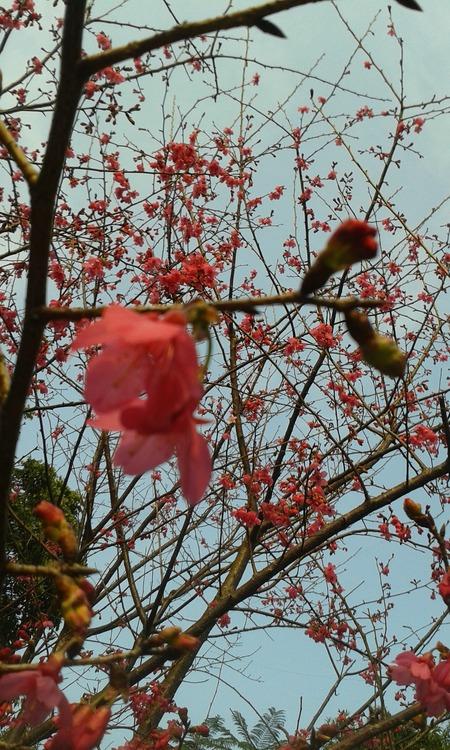 20140121山櫻花)