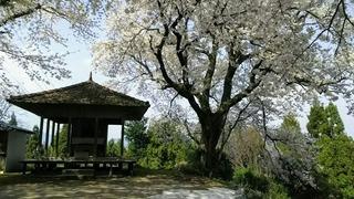 桜堂とひょうたん桜