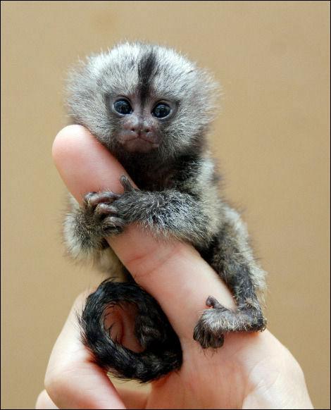 猿のピグミーマーモセット