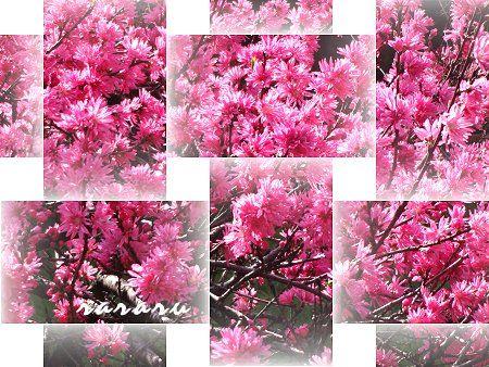 のほほん 桜