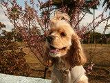 13日 寒桜まつり