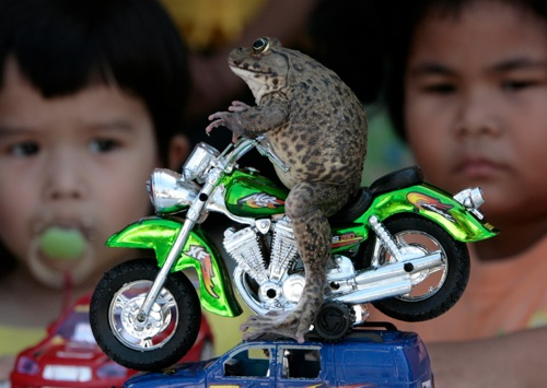 Thailand oui the frog sits on a miniature motorcycle in pattaya rtx5el1