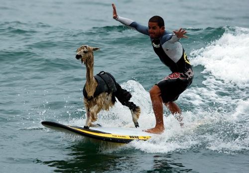 Peru peruvian surfer pianezzi with his alpaca pisco at san bartolo beach in lima rtr2bpsl