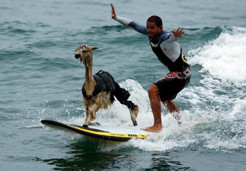 Peru peruvian surfer pianezzi with his alpaca pisco at san bartolo beach in lima rtr2bpsl