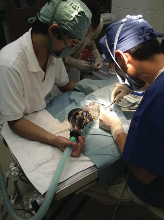 ヤンバルクイナ手術中