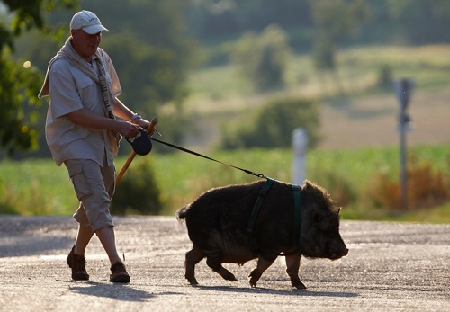 France christophe lutz walks marcel a 30 month old pig wild boar in kolbsheim rtr36mzw